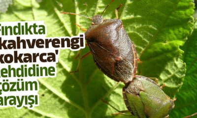 Fındıkta kahverengi kokarca ile biyolojik mücadeleye gelecek yıl başlanabilecek