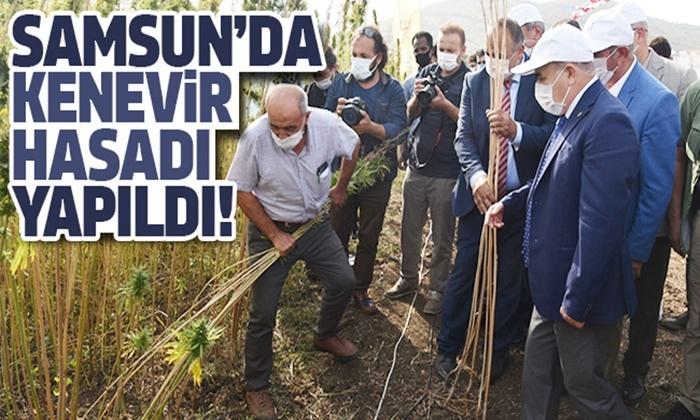 Türkiye'nin ilk yerli ve milli kenevirinin hasadı Samsun'da yapıldı