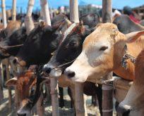 Samsun'da vebalı hayvan skandalı