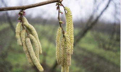 İlkbahar fındık tarımı için yapılması gerekenler
